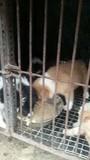 金毛边牧幼犬
